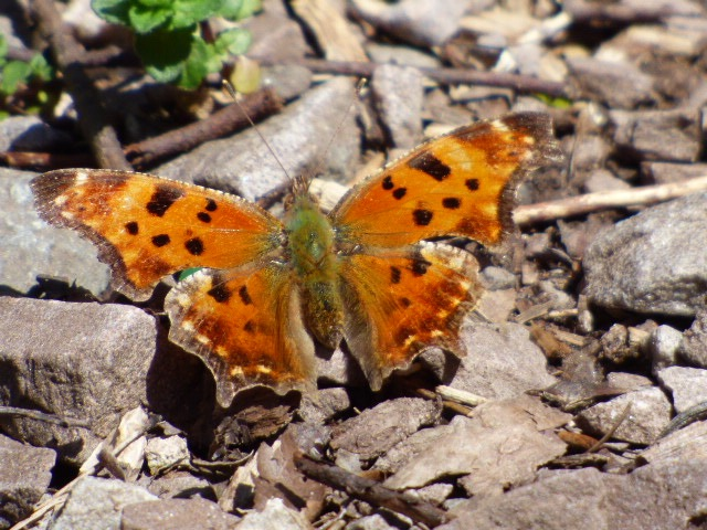 Upperside of Gray Comma along Big Run Road in Garrett Co. [2016 Apr 23, photo by REB]