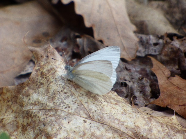 A West Virginia White showing the extensive grayish scales of fresh individuals that help them with thermoregulation [2016 Apr 23, photo by REB]