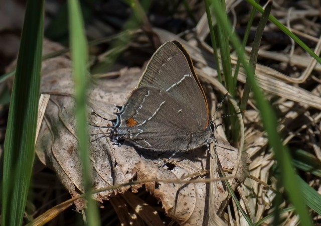 White-M Hairstreak photographed by Richard Orr in the Catoctin Mountains near Frederick MD 2016 April 20 [see more of Richard's great pix of odes and butterflies and other things at https://www.flickr.com/photos/dragonflyhunter/]