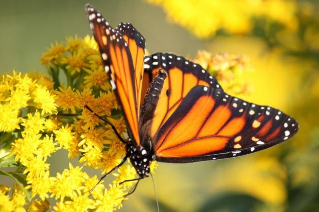 Monarch nectaring on goldenrod.
