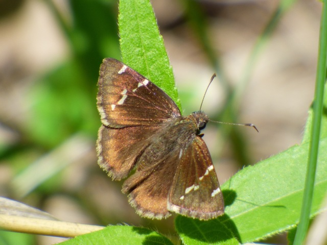 2016 May 14 Southern Cloudywing_MO-Benton Co-Truman SP