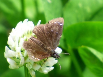 2016May13 Common Sootywing_MO-Daviess Co-Gallatin_Wabash Access to Grand River