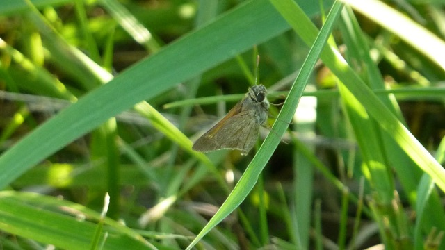 Tawny-edged Skipper [2016 June 15, Markham Prairie, photo by REB]