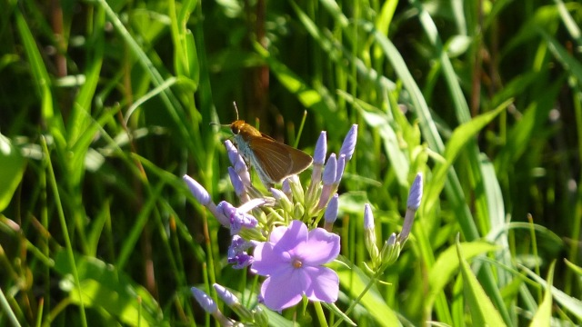 2016 June 15 Two-spotted Skipper 1_IL-Cook Co-Gensburg Markham Prairie
