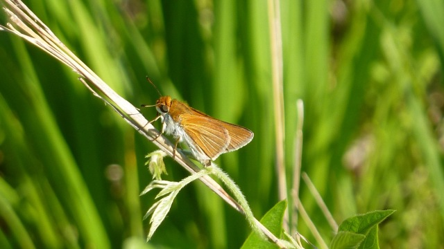 2016 June 15 Two-spotted Skipper 2_IL-Cook Co-Gensburg Markham Prairie