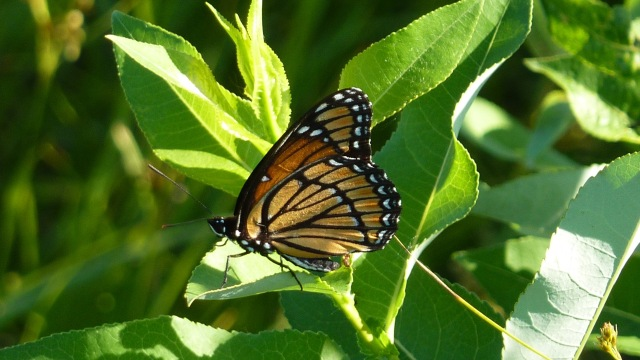 Newly emerged Viceroy sunning along the willow margin of the lake [2016 June 15, Markham Prairie, photo by REB]