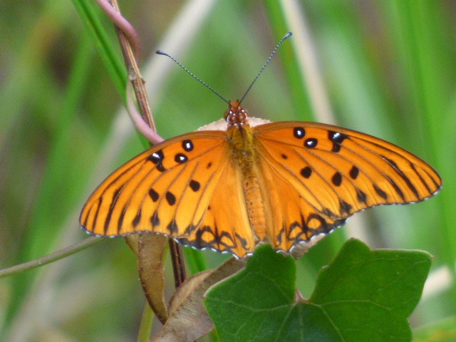 2016JUN1 Gulf Frit_FL-Collier Co-Corkscrew Swamp