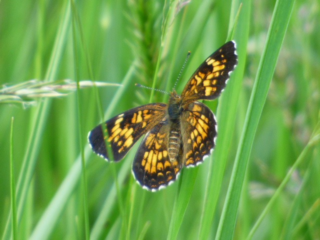 2016JUN10 Harris's Checkerspot 1_MD-Garrett Co-Finzel Swamp