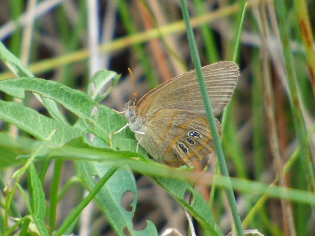 2016Jun3 Goergia Satyr_FL-Collier Co-Kirby Storter Roadside Park