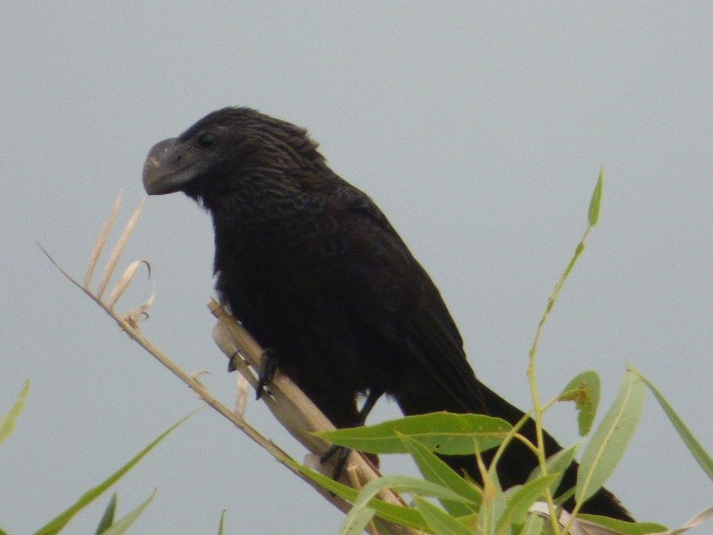 Elusive Smooth-billed Ani, making liars of the Loxahatchee Refuge Staff. [2016 June 5, REB]