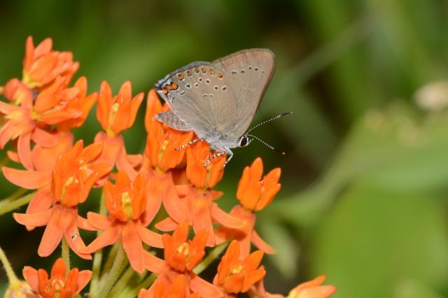 atlas moth caterpillar food