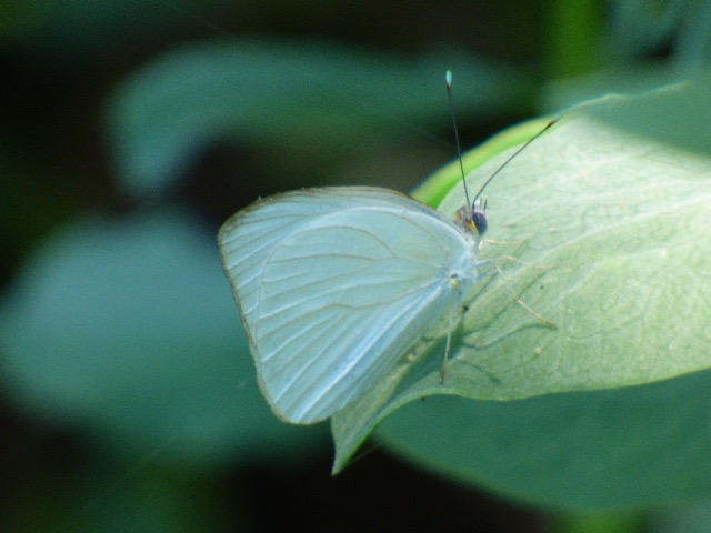 Check out the turquoise antenna tips of this Great Southern White, currently irrupting all across South Florida.  [2016 June 4, REB]