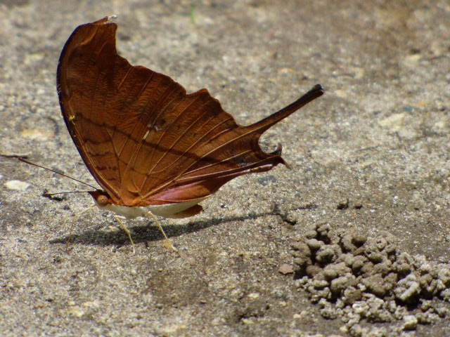 Ruddy Daggerwing at the Deering Estate {2016 June 4, REB]