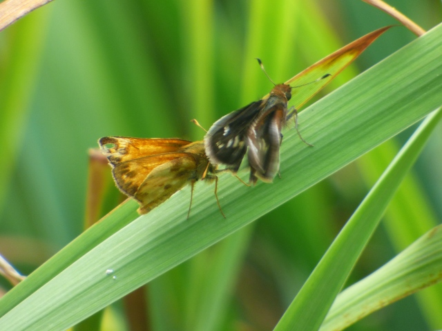 Field observers should watch for the new brood of Zabulon Skipper emerging this week.  [photo by REB]