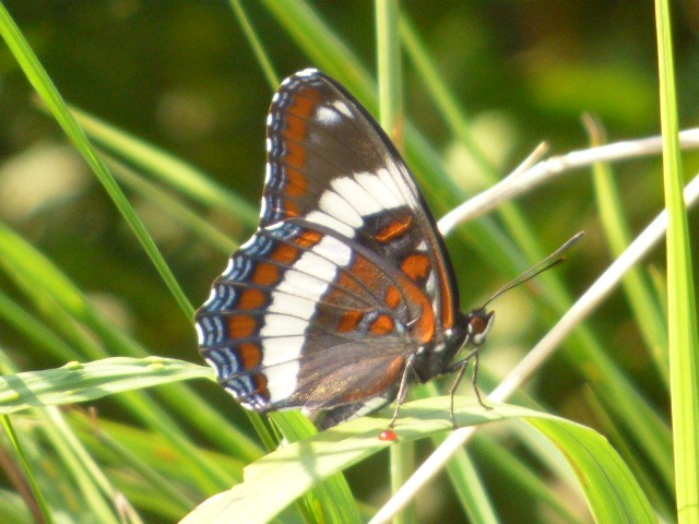 White Admirals shared mud puddles from recent heavy rains with Milbert's Tortoiseshells and Gray Commas [2016 Aug 3, REB]