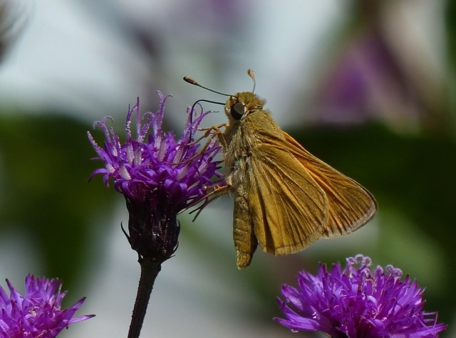 Second-generation Delaware Skipper from the Lancaster PA area this week [photo courtesy Tom Raub]