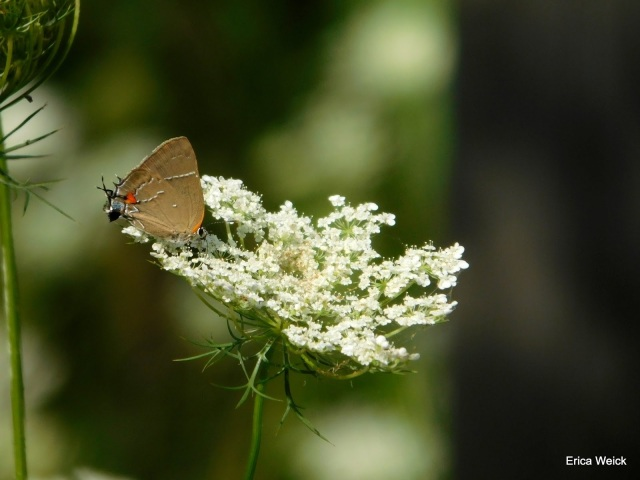 A White-M Hairstreak found in Talbot Co MD and photographed by Erica Weick on 2016 Aug 3 in her backyard.