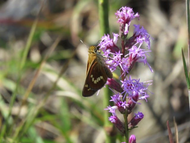 Tom Stock's photo this week of Leonard's Skipper on blazing star (Liatris) at Soldiers Delight in Baltimore Co MD.