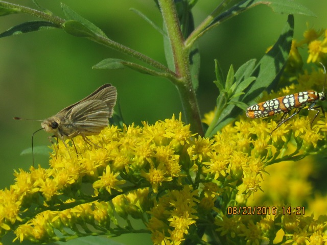 Salt Marsh Skippers are flying in coastal habitats; look for them on goldenrod and salt marsh fleabane [photo courtesy Barry Marts, 2016 Aug 20]