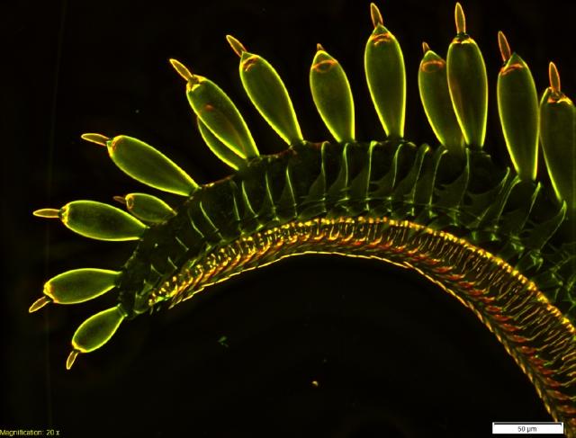 proboscis-tip