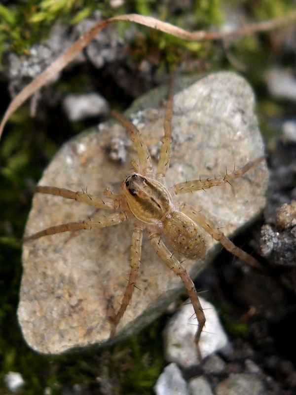 Pardosa pseudoannulata, the Pond Wolf Spider