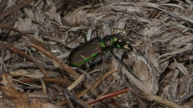 2017APR02 C purpurea Cow Path Tiger Beetle_MD-Allegany CO-GRSF