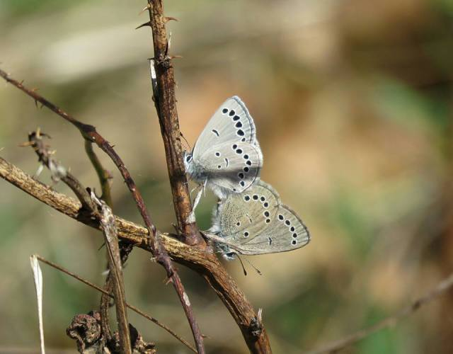 2017APR09 mating silvery blues_GRSF_Tom Stock pic