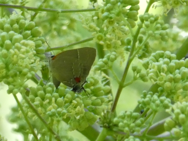 2017JUL30 White M Hairstreak_MD-AA Co-Glendining Preserve