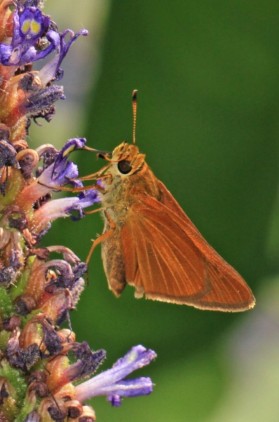 Lep Log | butterfly and moth observation | research | conservation ...