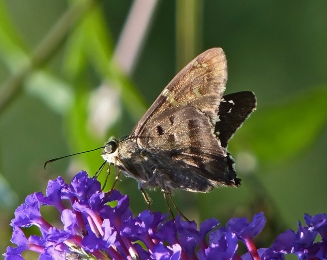 Long-tailed Skipper-home-8_19_17