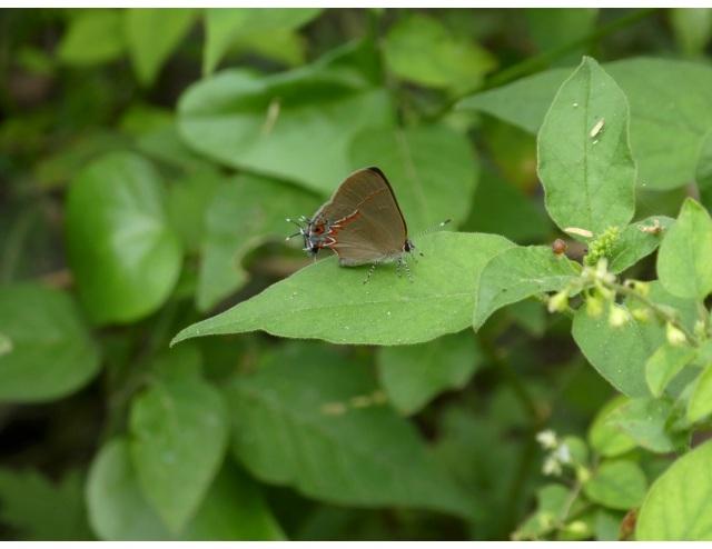 2018 Feb 21 Dusky Blue Groundstreak_TX-Hidalgo Co-Mission-Natl Butterfly Ctr