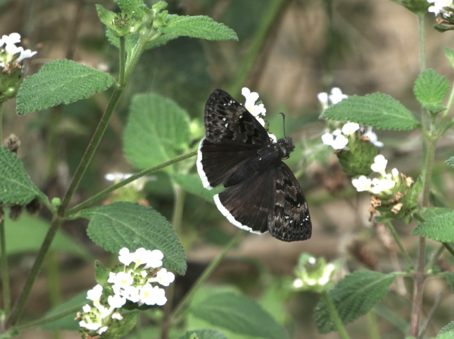 2018 Feb 21 Mournful Duskywing_E tristis_TX-Hidalgo Co-Mission-National Butterfly Ctr 1