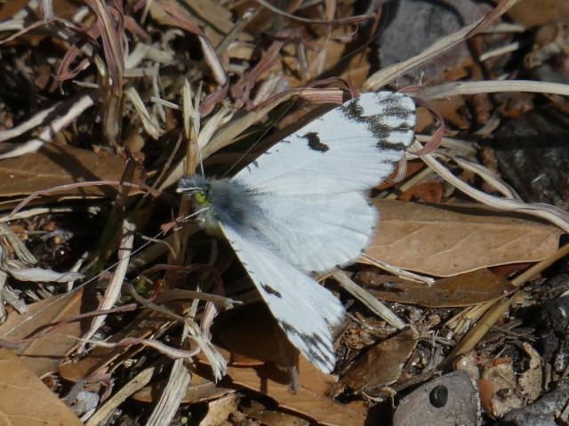 2018 MAR 05 Pearly aka Desert Marble_AZ-Santa Cruz Co-Madera Canyon