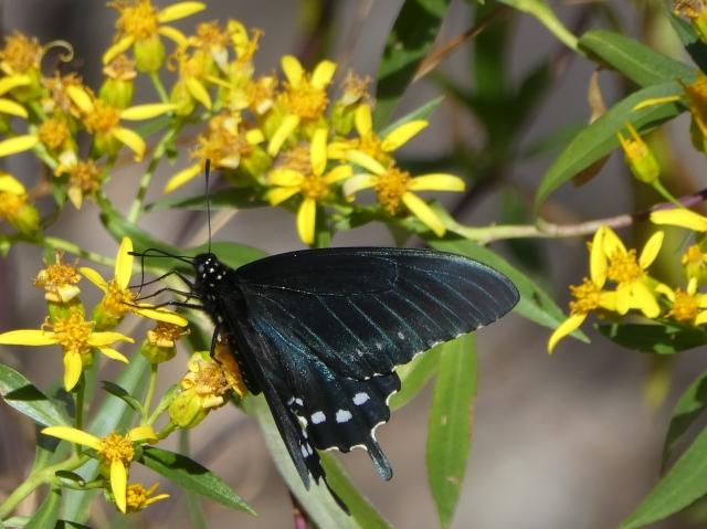 2018 MAR 06 Pipevine Swallowtail_AZ-Santa Cruz Co-Sonoita Creek Natural Area