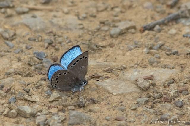 Silvery Blue GRSF frode_jacobsen_40919361294_fa7ce78b5e_b