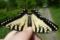 2018 June 1 Canadian Tiger Swallowtail dorsal_MA-Mt Greylock Reservation
