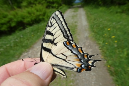 Multiple opportunities to study Canadian Tiger Swallowtails, which were abundant on Mt Greylock [MA: Berkshire Co, 2018 June 1]