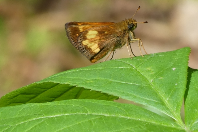 2018 June 2 Hobomok Skipper_NY-Franklin Co-Paul Smiths VIC boreal trail