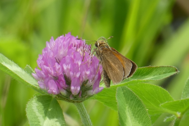 2018 June 8 Aaron's Skipper_MD-Talbot Co-Bruceville Rd at Miles Crk