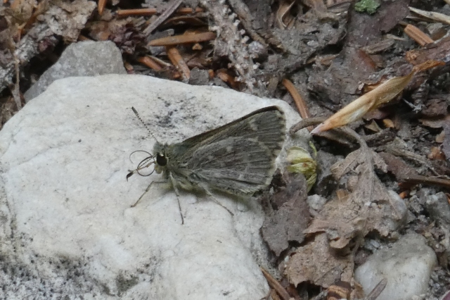 2018 May 31 Pepper and Salt Skipper 3_MA-Mt Greylock Reservation