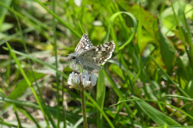 2018 July 29 Common Checkered-skipper_MD-AA Co-Glendening Preserve