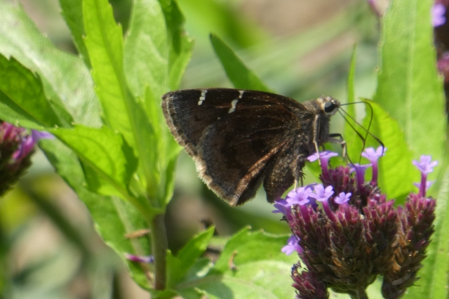 2018 July 29 Southern Cloudywing 2_MD-AA Co-Glendening Preserve