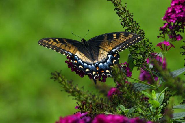 tiger swallowtail female intergrade Sept 14 2018 small