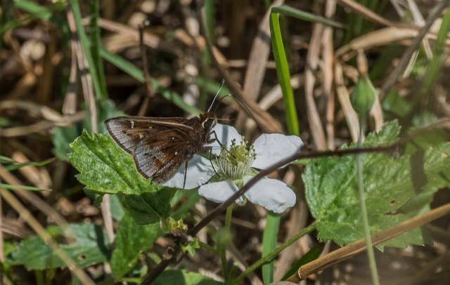 Dusted Skipper 2019_Orr