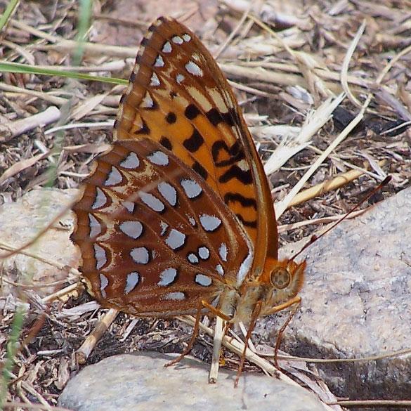 Speyeria-aphrodite-photo-5